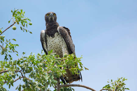 A Martial Eagle on a tree with blue sky on the background