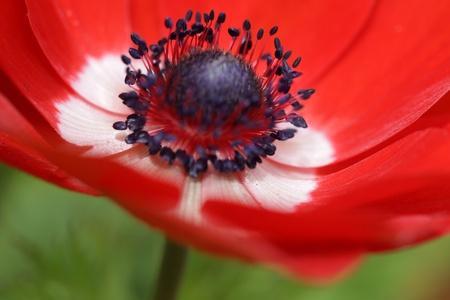 anemone flower: Red anemone fiore