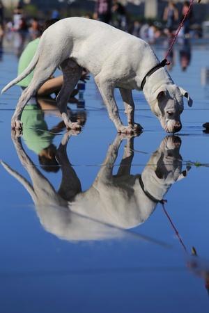white dog: White dog and his reflection  Stock Photo