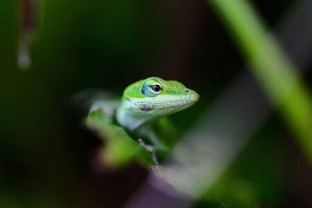 eye: Lazard gecko