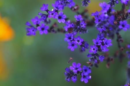 purple flowers: Tiny purple flowers