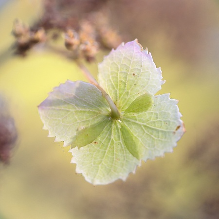 hydrangea flower: Single Hydrangea flower with texture