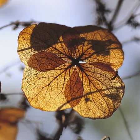 hydrangea flower: Dry hydrangea flower