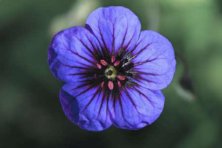 violette fleur: Petite fleur pourpre