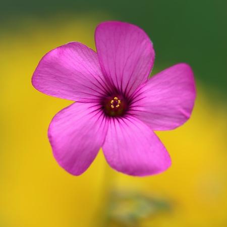 closeup: Tiny pink Shamrock oxalis violacea Stock Photo