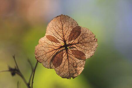 hydrangea flower: Texture on dry hydrangea flower