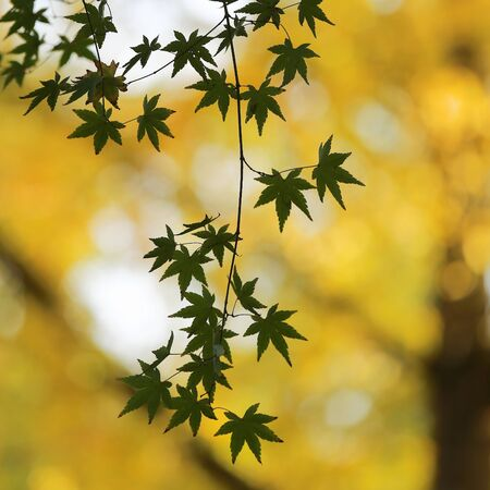 japanese maples: Green maples leaves in Autumn