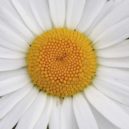 closeup: Closeup of daisy flower Stock Photo