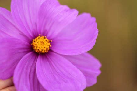 cosmos flower: Closeup of pink cosmos flower