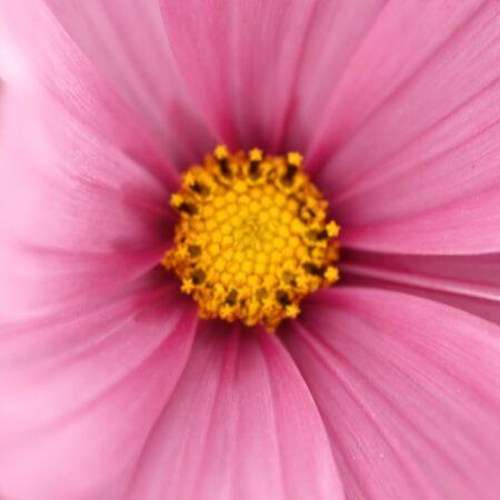 closeup: Closeup of pink cosmos flower