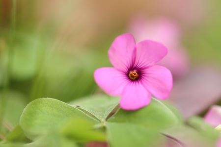 oxalis: Closeup of tiny pink Shamrock flower Oxalis violacea