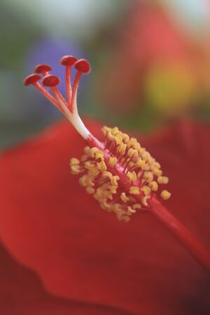 closeup: Closeup of red hibiscus in the garden