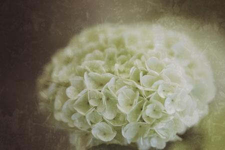 grunge: Old vintage grunge texture with hydrangea flower