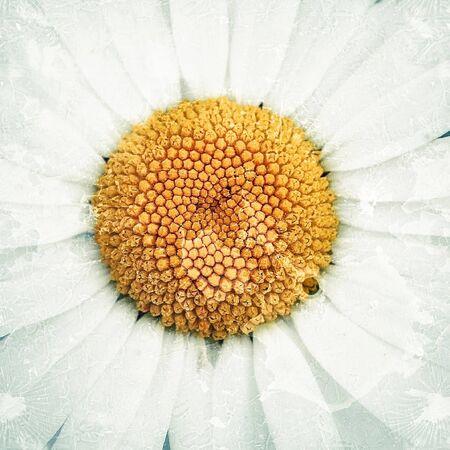 grunge: Old vintage grunge texture with daisy flower