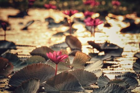 style: Lotus in the pond with sunlight and Bokeh in vintage style