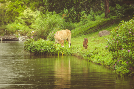 Blurred image of Mother cow with newborn calf in green grass on the river bank with reflcetion during raining season in Thailand