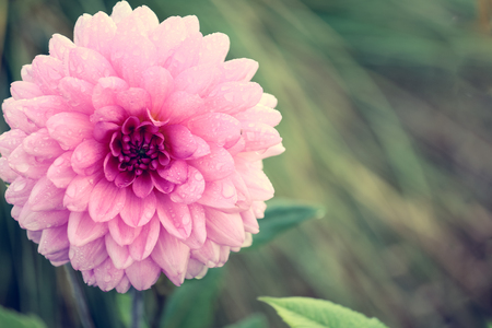 dahlia flower: Close up of pink Aster or dahlia flower with rain drops on petals in vintage style Stock Photo