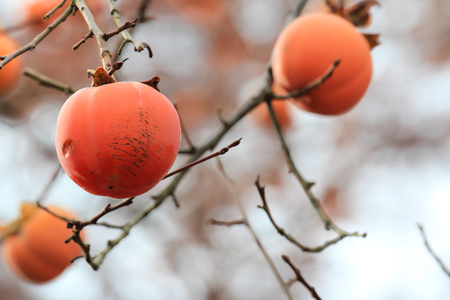Persimmons on tree with bokeh and autumn leaves colour