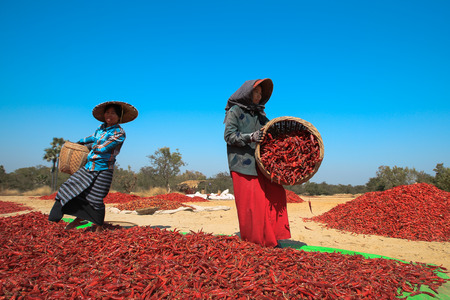 BAGAN, MYANMAR - Fabruary 3, 2017 : People picking up dry chilly on a field in Bagan, Myanmar