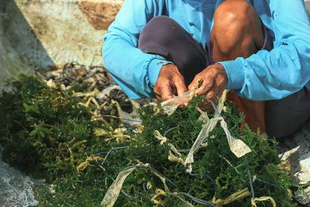 nusa: Selective focus on farmers hands collecting seaweed at seaweed farm in Nusa Penida, Indonesia
