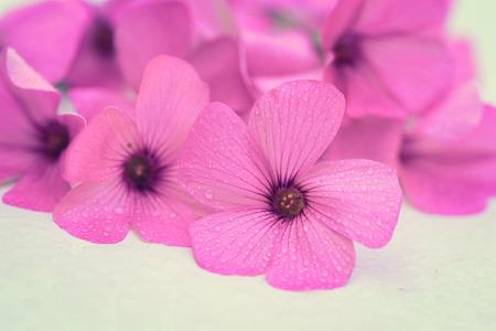 Closeup of tiny pink Shamrock flower (Oxalis violacea)