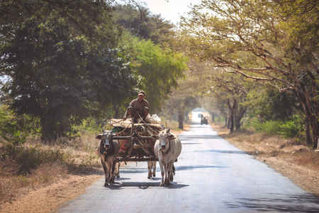 BAGAN, MYANMAR - Fabruary 3, 2017 : Burmese rural man driving wooden cart with hay on road drawn by two white buffaloes. Rural landscape and traditional village life in Burma countryside
