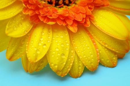 Gele gerbera met waterdruppels op turkooizen achtergrond.