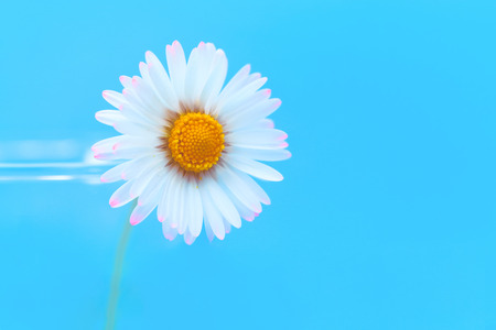 Selective focus of daisy flowers on light blue background