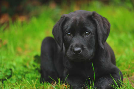 Black Labrador puppy on the grass. happy dog sitting in the park.