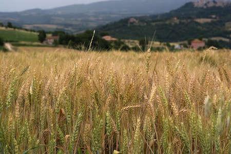 farina: campo di grano Stock Photo