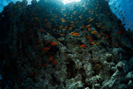 pin�culo: Pinnacle y peces de oro - Jordania