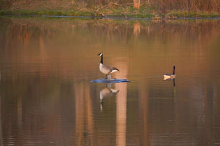 water fowl: Two Canadian Geese on a pond with sky and tree reflections