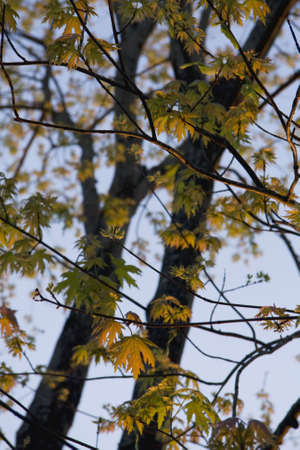 silver maple: New Silver Maple leaves in a golden spring sunrise. Stock Photo