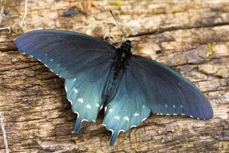 swallowtail: Close-up of a Pipevine Swallowtail on a log in the Great Smoky Mountains National Park. Stock Photo