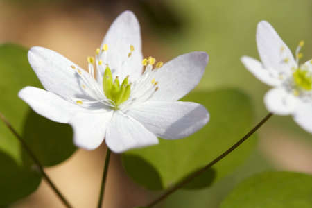 rue: Close-up of a Rue Anemone blossom in the Great Smoky Mountains National Park. Stock Photo