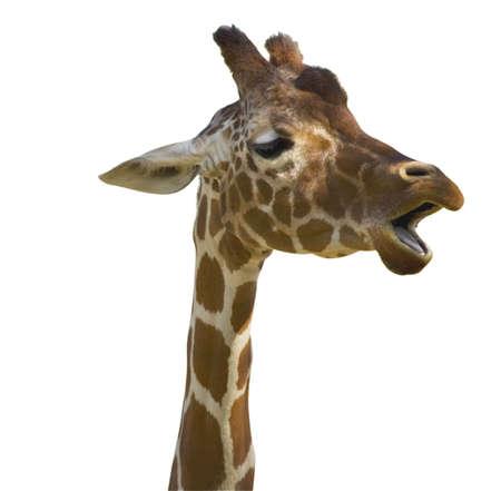 jirafa fondo blanco: Un joven jirafa, aislados en blanco, se ocupa de la multitud.