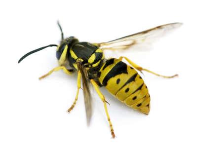abejas: Primer plano de un vivo amarillo Chaqueta Wasp sobre un fondo blanco.  Foto de archivo