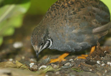 quail: Close-up of button quail foraging for food. Stock Photo