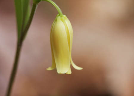 wild oats: Close-up of Wild Oats; Sessile-leaf Bellwort (Uvularia sessilifolia), a spring wildflower growing in the Great Smoky Mountains National Park.