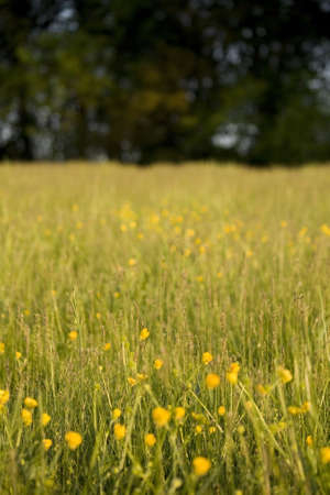 buttercups: Meadow with buttercups in foreground and a dark tree background. Stock Photo