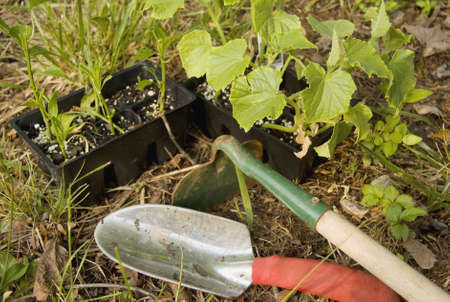 Garden trowel and hoe with vegetables ready for planting. Stock Photo - 3086632