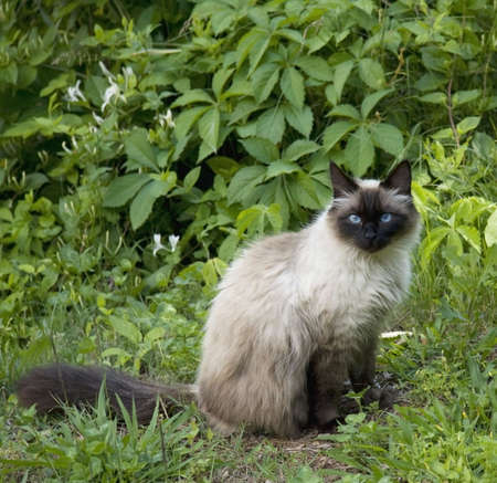 himalayan cat: A Seal Point cat portrait in lush surroundings