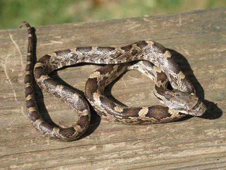 juvenile: A Juvenile black rat snake basks in the sun.