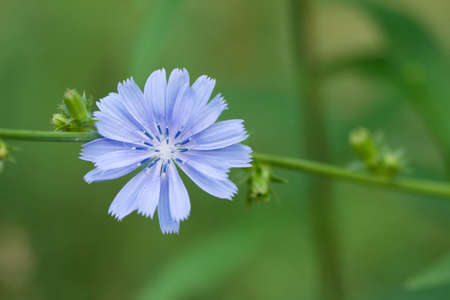 chicory coffee: Close-up of common chicory flower on stem.