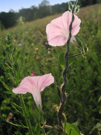 핑크 나팔꽃이 아침 햇살에 비추어 백라이트를합니다.