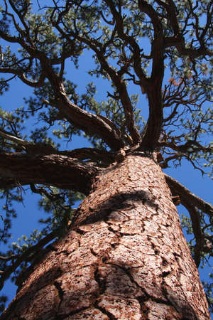 sierras: Looking up at the branches of a large Jeffrey Pine in the Eastern High Sierras of California.