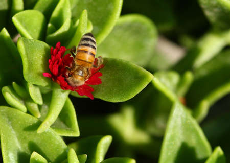 Honey Bee gathering nectar from Red Apple (Aptenia cordifolia). photo