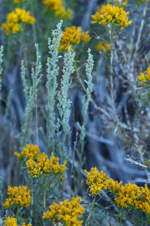 sierras: Isolated view of summer goldenrod and sage in the Eastern High Sierras of California.