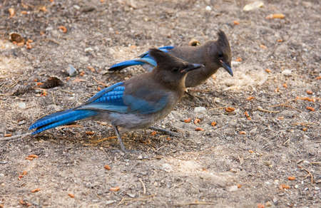 Two Stellers Jays look for food on the ground in the Eastern High Sierras of California. photo