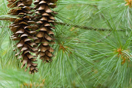 Two pine cones with pine needles and tree for seasonal background.